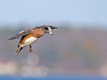 amerykański wigeon Fotografia Royalty Free