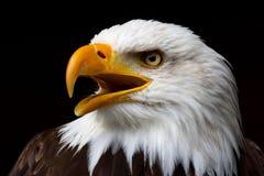 Amerykański Łysy Orzeł Fotografia Royalty Free
