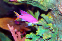 Amethyst anthias. (Pseudanthias pascalus) in Japan stock images