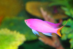 Amethyst anthias. (Pseudanthias pascalus) in Japan stock image