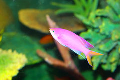 Amethyst anthias. (Pseudanthias pascalus) in Japan stock photography