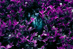 Amethyst bush Royalty Free Stock Photography