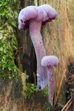 Amethyst deceiver - edible mushroom. Detail of the amethyst deceiver - edible mushroom stock photo