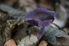 Amethyst Deceiver Royalty Free Stock Image