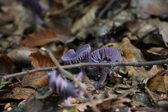 Amethyst Deceiver Stock Photography