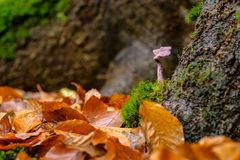 Amethyst Deceiver mushroom inthe forrest. Laccaria amethystina, commonly known as the amethyst deceiver, is a small brightly colored mushroom, that grows in stock image