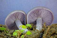 Amethyst Deceiver Mushroom (Laccaria amethystina). Detail close up of the gills of an Amethyst Deceiver mushroom (Laccaria amethystina) lying on leaf mould stock images