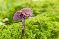 Amethyst deceiver mushroom - laccaria amethystina - growing in green sphagnum moss. Closeup of an amethyst deceiver mushroom - laccaria amethystina - growing in stock photography