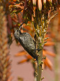 Amethyst female Sunbird feeding on flowering Aloes Stock Image