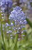 Amethyst Meadow Squill Royalty Free Stock Photo