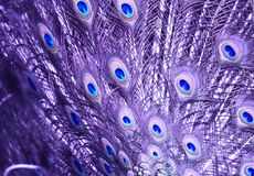 Amethyst Peacock`s Tail stock image