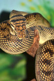 Amethyst Python Stock Image