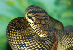 Amethyst Python. The amethyst or amethystine python (liasis ametistinus) , the largest snake in australia, can grow up to 25 feet and is very aggressive Stock Images