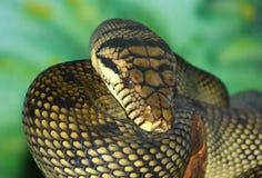 Amethyst Python Stock Images