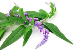 Amethyst sage Royalty Free Stock Image