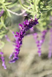 Amethyst sage Stock Photo
