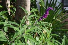 Amethyst sage. / Salvia leucantha / Mxican bush sage stock photo