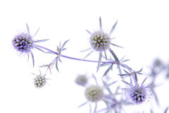 Amethyst sea holly Royalty Free Stock Images
