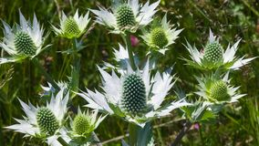 Amethyst Sea Holly or Eryngo flower buds close-up, selective focus, shallow DOF royalty free stock images