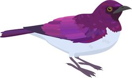 Amethyst Starling vector illustration. Color Amethyst Starling purple bird vector illustration Royalty Free Stock Photos