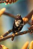 Amethyst sun bird. Royalty Free Stock Photos