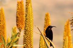 Amethyst sun bird. Stock Photo
