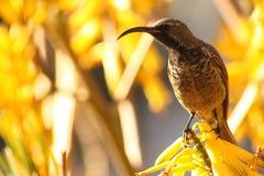 Amethyst sun bird. Royalty Free Stock Photo