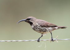 Amethyst Sunbird Stockfoto