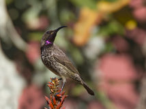Amethyst sunbird against a lovely color Stock Photos