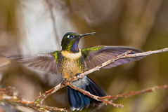 An Amethyst-throated Sunangel Royalty Free Stock Image