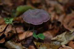 Amethystina de Laccaria Images stock