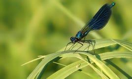 Amethystina de Vestalis de libellule avec les ailes pliées se reposant sur une lame de l'herbe verte, villus dans les jambes, pla Photographie stock libre de droits