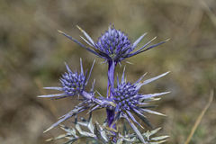 Amethystinum d'Eryngium Photo libre de droits