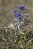 Amethystinum d'Eryngium Photographie stock libre de droits
