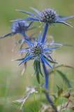 Amethystinum d'Eryngium de fleur Photographie stock