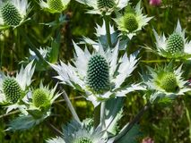 Ametystowego Dennego holly lub Eryngo kwiatu pączki zakończenie, selekcyjna ostrość, płytki DOF Zdjęcie Stock