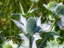 Ametystowego Dennego holly lub Eryngo kwiatu pączki zakończenie, selekcyjna ostrość, płytki DOF Obraz Stock