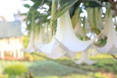 ametystowi kwiaty południowy soumatra Obrazy Royalty Free