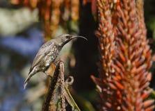 ametystowy piękny żeński sunbird Obrazy Royalty Free