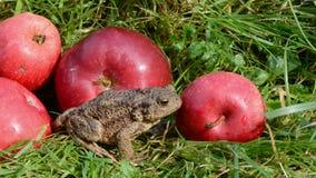 Amfibie grote gemeenschappelijke pad (Bufo-bufo) en appelen op gras stock videobeelden