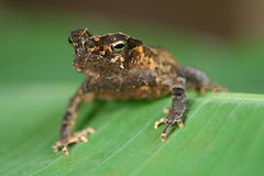 amfibie krönad tropisk djungelpadda Arkivfoto