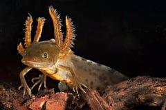 amfibie krönat vatten för newtsalamandergrodyngel Royaltyfria Bilder