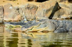 Amfibie Voorhistorische Krokodil Stock Foto