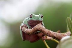 Amfibier djur, animales, djur, animalwildlife, krokodil som är kort och tjock, dumpyfrog, framsida, groda, gräsplan, makro, däggd arkivfoto