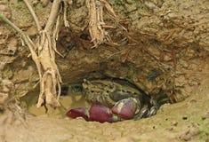 Amfibier - krabbor Royaltyfri Fotografi