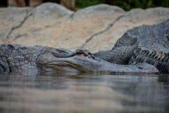 Amfibisk förhistorisk krokodil Royaltyfria Bilder