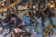 Amfibisk fisk i mangroveskog Arkivfoto