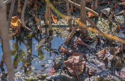 Amfibisk fisk i mangroveskog Royaltyfri Foto