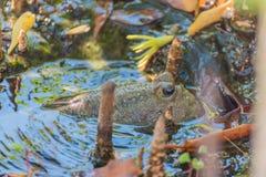 Amfibisk fisk i mangroveskog Royaltyfria Bilder