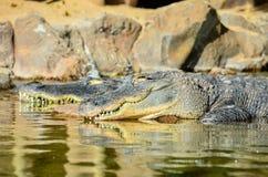 Amfibisk förhistorisk krokodil Arkivfoto